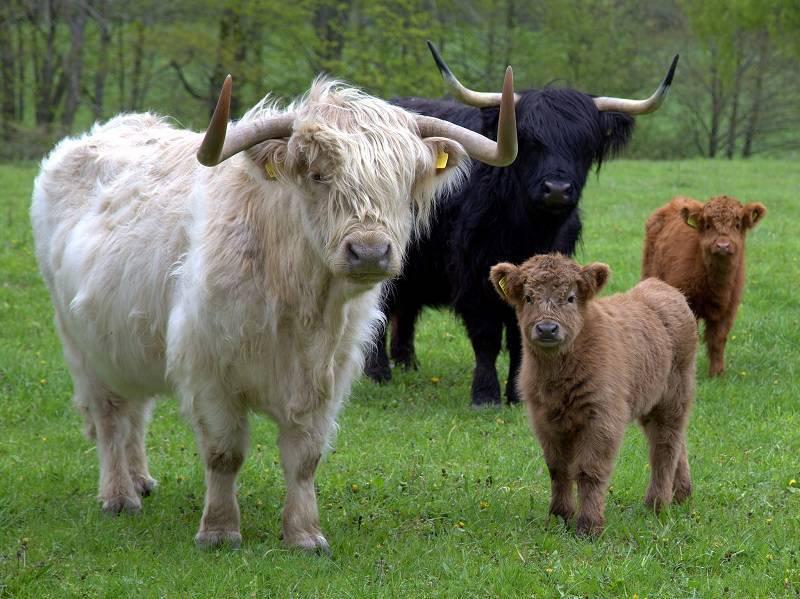 Шотландская корова (30 фото): характеристика и особенности коров породы хайленд. интересные факты о шотландской высокогорной корове