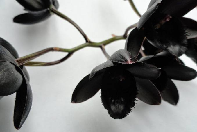 Как появляется цветонос у орхидеи: как определить новую детку, когда она только появляется, фото