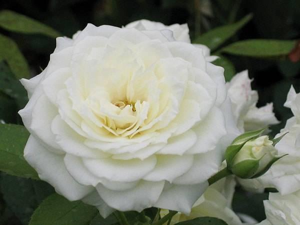 Пионовидные розы: сорта, виды, фото, выращивание