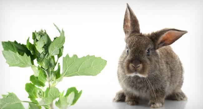 Можно ли кормить кроликов лебедой