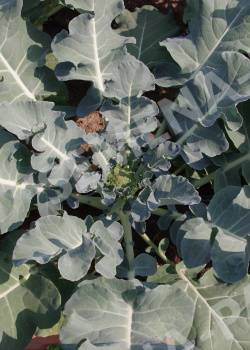 Брокколи маратон f1: описание сорта, характеристика урожайности, отзывы о вкусовых качествах капусты, особенности выращивания