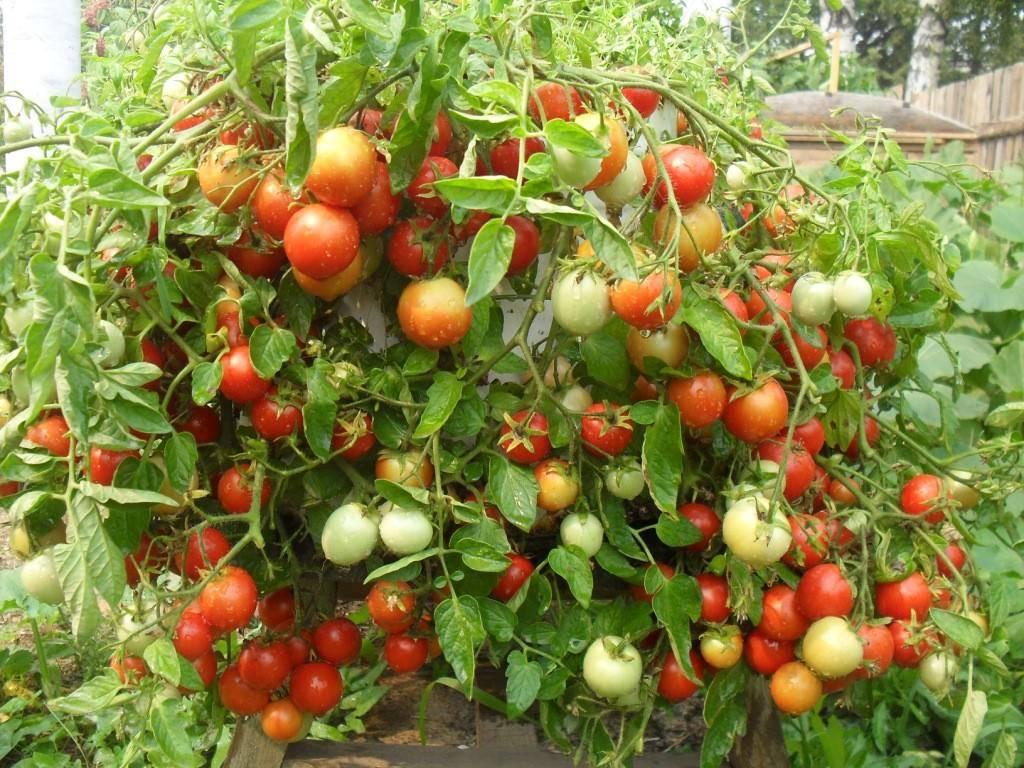 Томат взрыв: описание, характеристики, технология выращивания