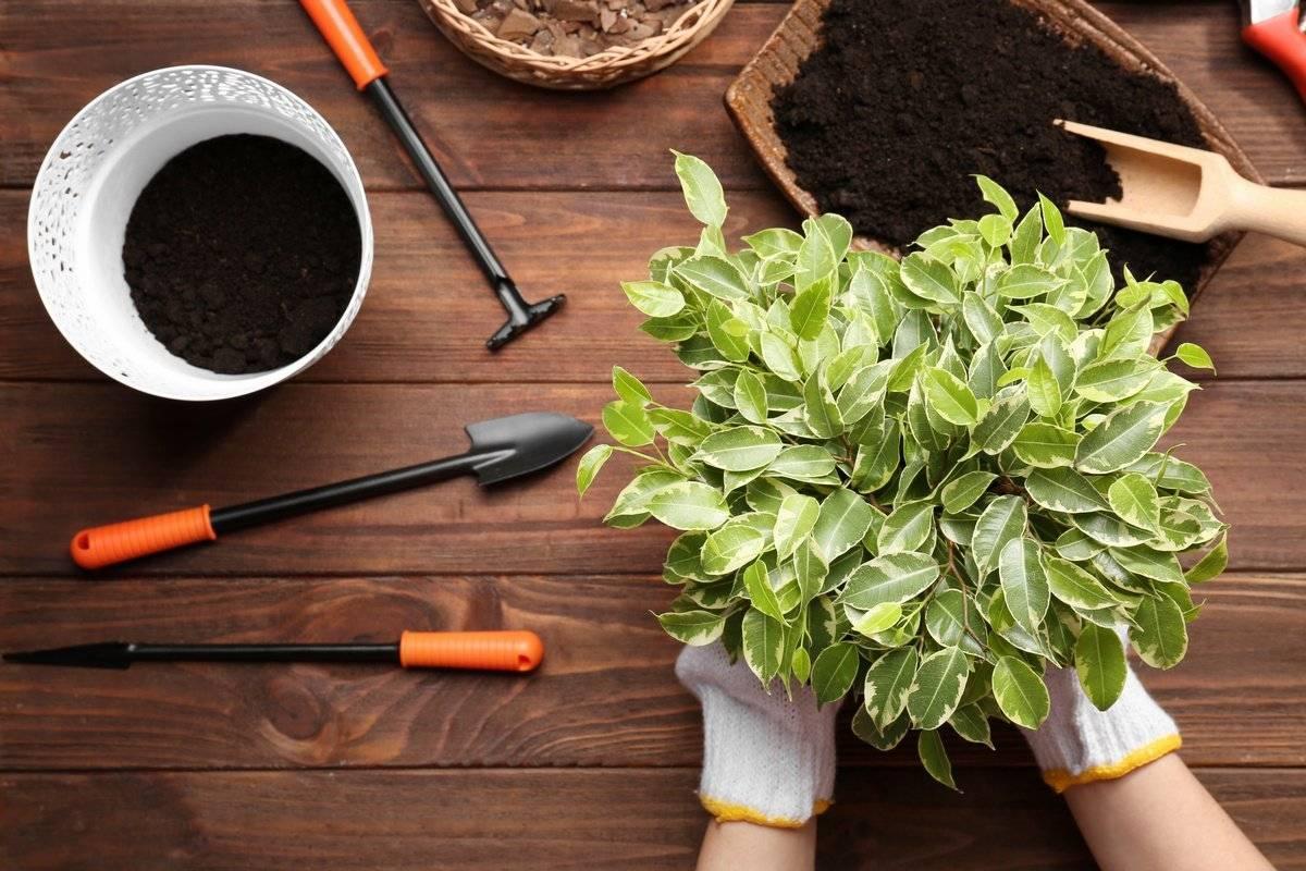 Комнатные цветы - правила пересадки комнатных растений, когда пересаживать и зачем