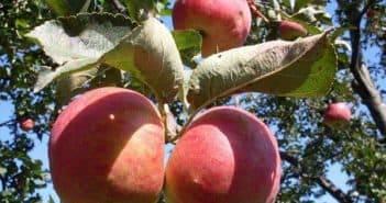 Лучшие сорта яблонь для средней полосы россии