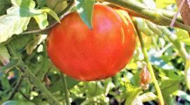 Новый сорт томатов сибирской селекции «японский краб» — описание, характеристики, фото