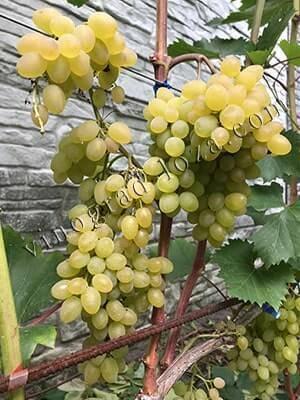 Виноград рута –описание отличий , особенности винограда рута