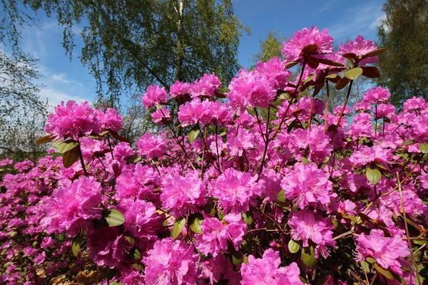 Самые красивые и устойчивые сорта рододендронов для вашего сада на supersadovnik.ru