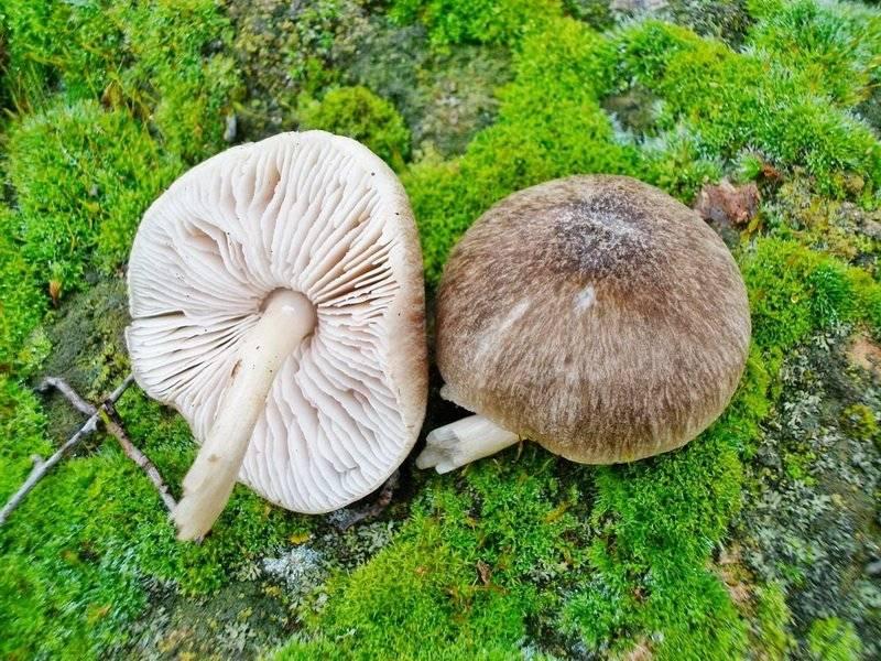Плютей благородный (pluteus petasatus) –  грибы сибири