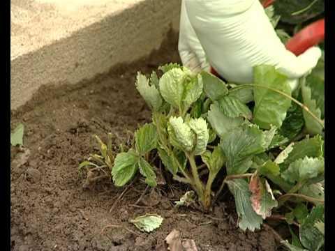 Обрезка клубники и уход за грядкой – советы опытных садоводов