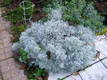 Декоративная полынь: выращивание и уход (шмидт, серебристая и т.д.)