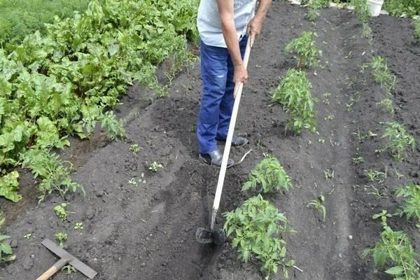 Нужно ли окучивать помидоры в открытом грунте: советы специалистов