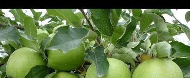 Яблоня гренни смит: особенности сорта и ухода