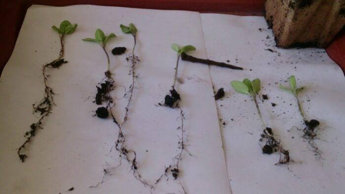 Когда сажать баклажаны на рассаду: сроки посева и пикировки, уход