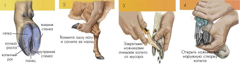 Как правильно проводить обрезку копыт у фермерских коз - мыдачники