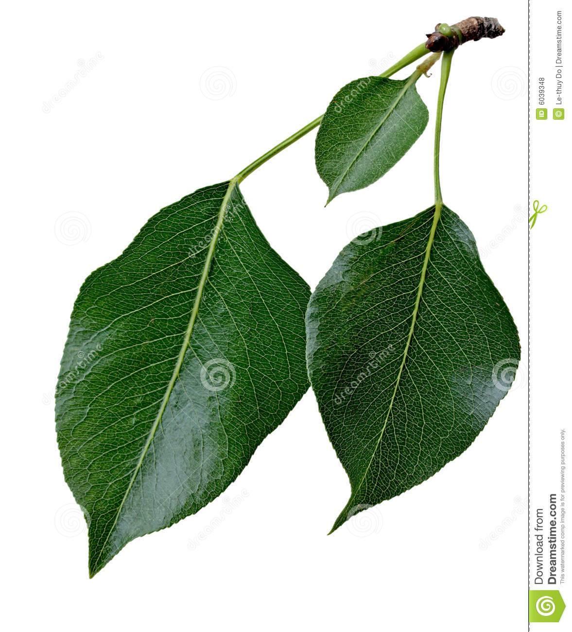 Дерево груша: фото и описание сортов, посадка, уход, особенности выращивания груши на участке