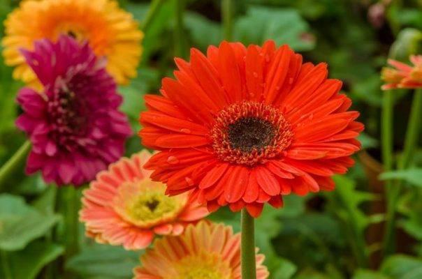 Герберы садовые: описание, посадка, уход | (40+ фото)