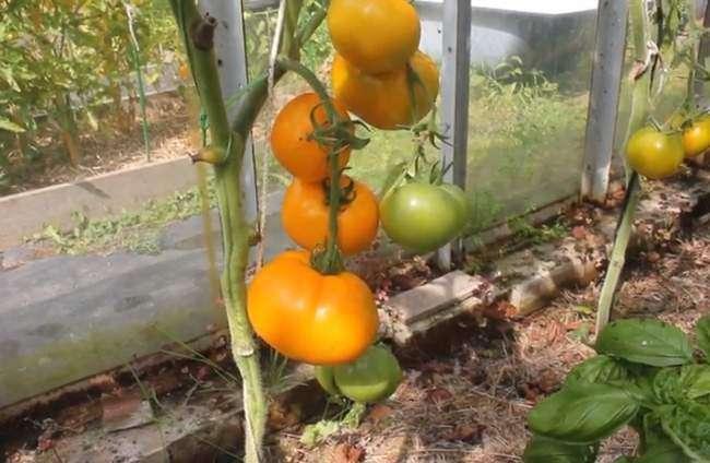Томат «хурма»: описание сорта, особенности культуры и отзывы о выращивании