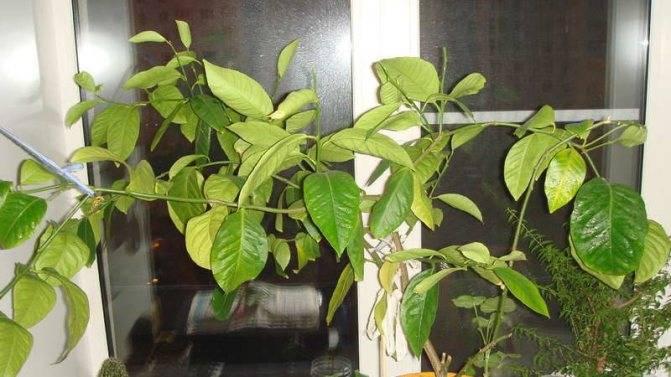 Сохнут кончики листьев у лимона