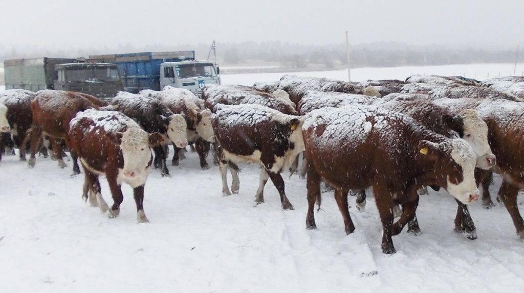 Казахская белоголовая корова – характеристика крс 2021