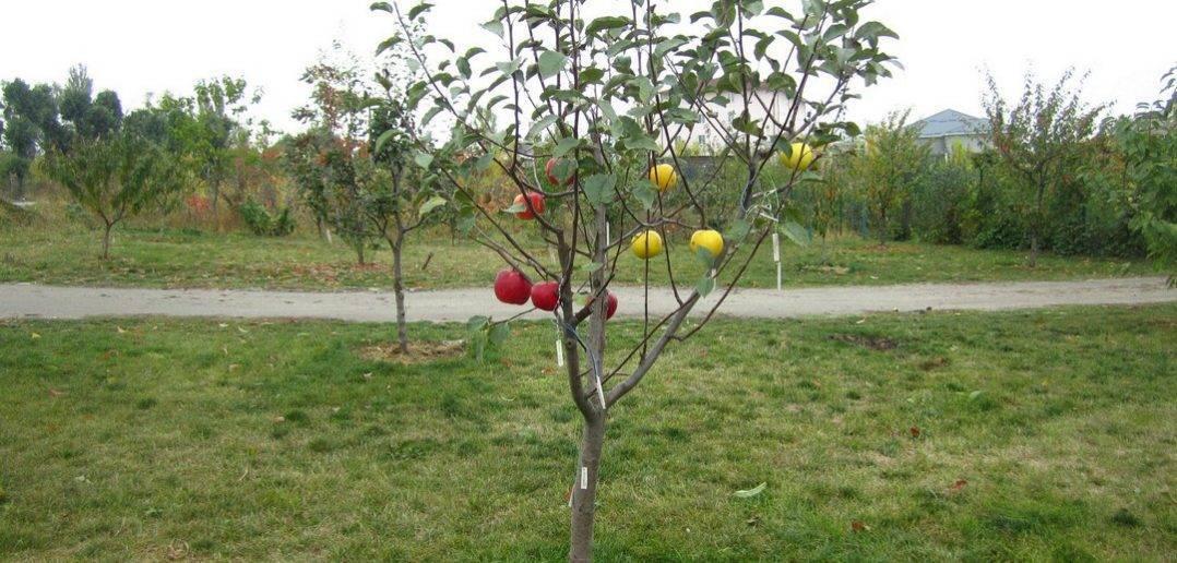 Как посадить яблоню весной: пошаговое руководство + видео