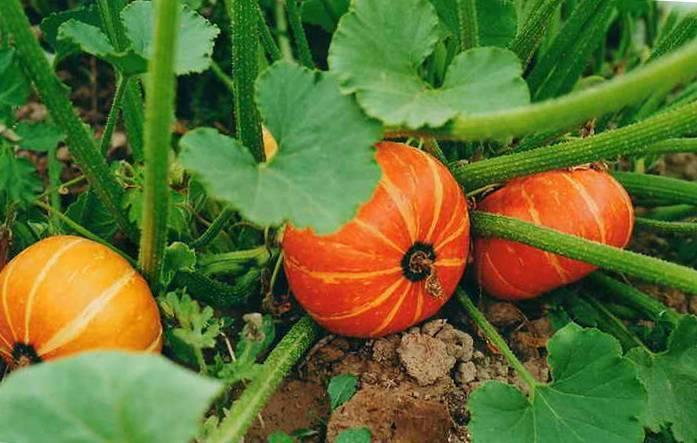 Посадка, выращивание тыквы