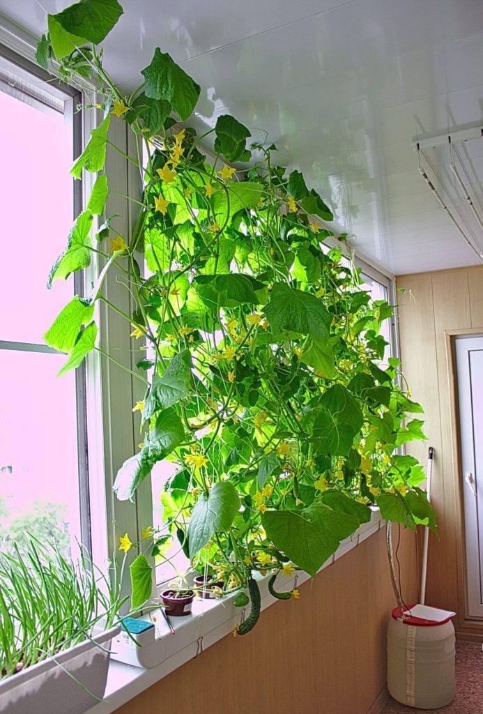 Как вырастить огурцы зимой в квартире (на подоконнике или балконе)