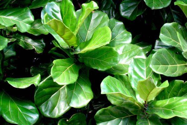 Комнатное растение фикус: фото, условия выращивания, уход в домашнем условиях, размножение фикуса