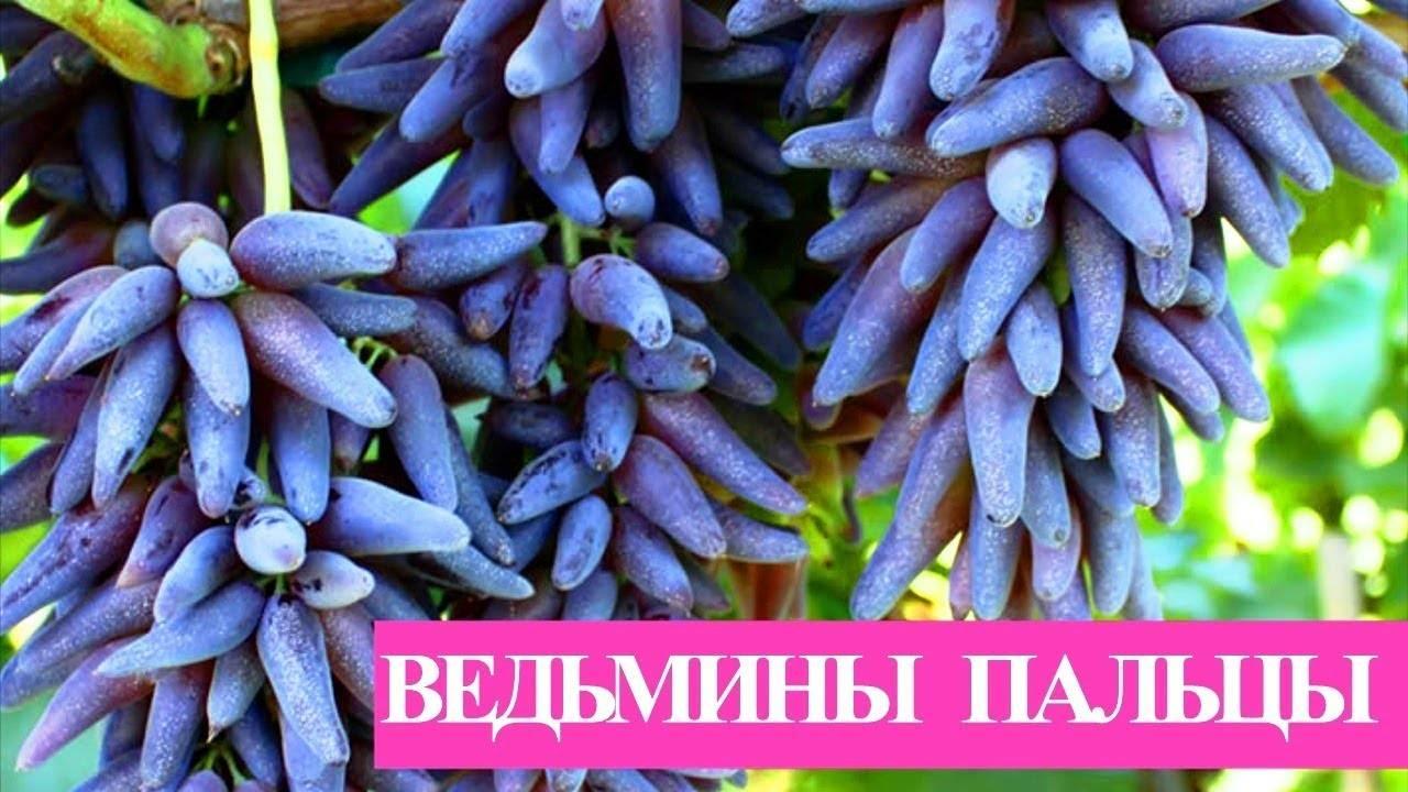 Виноград черный палец или самый крупный бессемянный сорт