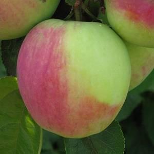 Яблоня горный синап: описание, фото сорта и отзывы о нем садоводов из сибири