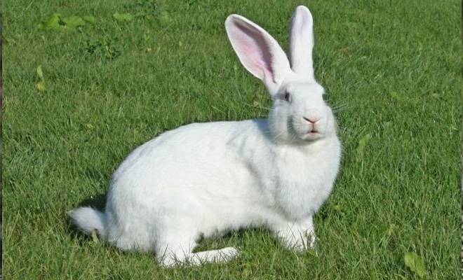Кролик породы белый паннон: описание, разведение и уход - блогфермера