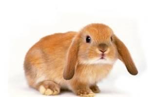 Обзор рыжих кроликов: описание и фото обзор рыжих кроликов: описание и фото
