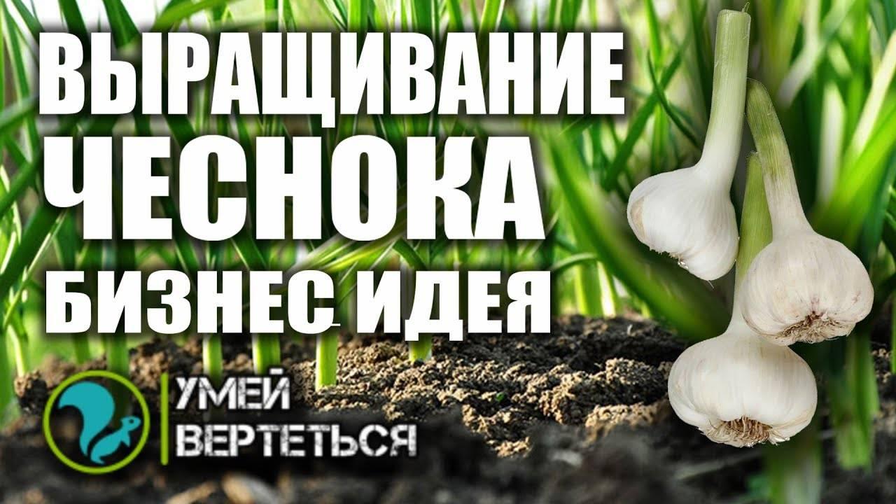 Выращивание чеснока как бизнес: рентабельность, оборудование, технологии