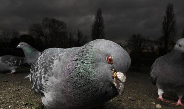 Методы лечения поноса у голубей