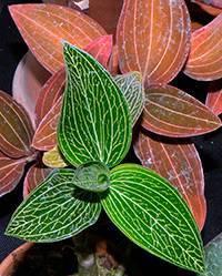 Необычная орхидея с красивыми листьями – лудизия драгоценная. фото, описание, нюансы ухода