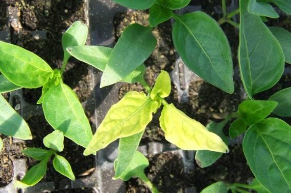 Почему у рассады перца желтеют и опадают листья, что делать