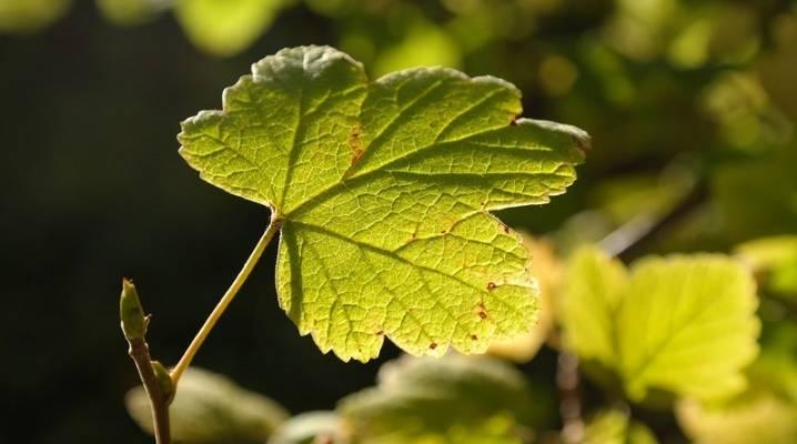 Что делать, если желтеют листья у смородины