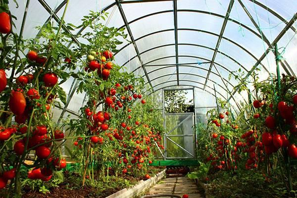 Описание сорта томата тайлер, его характеристика и урожайность – дачные дела