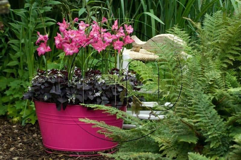 Как правильно посадить гладиолусы в горшок?