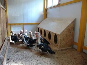 Уход за мускусными утками зимой: особенности содержания, кормления, поения индоуток в домашних условиях