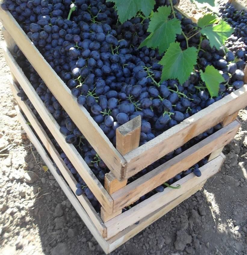 Виноград аттика: описание сорта, фото, отзывы, видео
