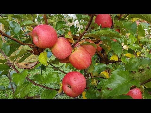 Яблоня память мичурина: особенности сорта и ухода