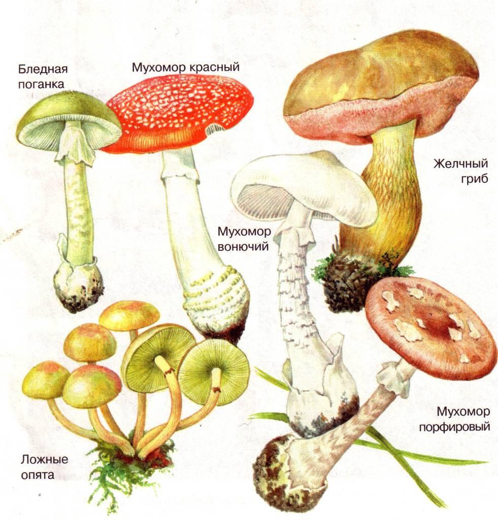 Ядовитые грибы ленинградской области – фото и описание