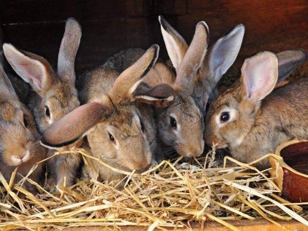 Почему крольчиха не рвет пух перед родами причины и окрол