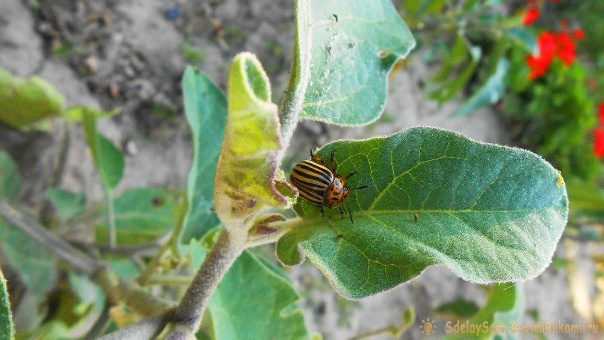 Эффективные способы борьбы с колорадским жуком на картофеле: видео, народные средства для борьбы без химии