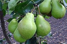 Описание и тонкости выращивания груши сорта нарядная ефимова