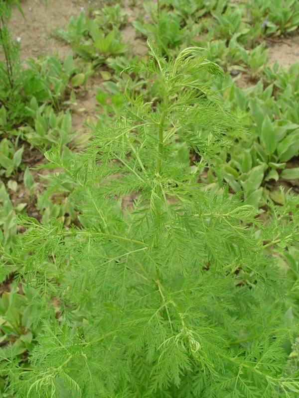 Полынь однолетняя — лечебное растение или бесполезный сорняк?