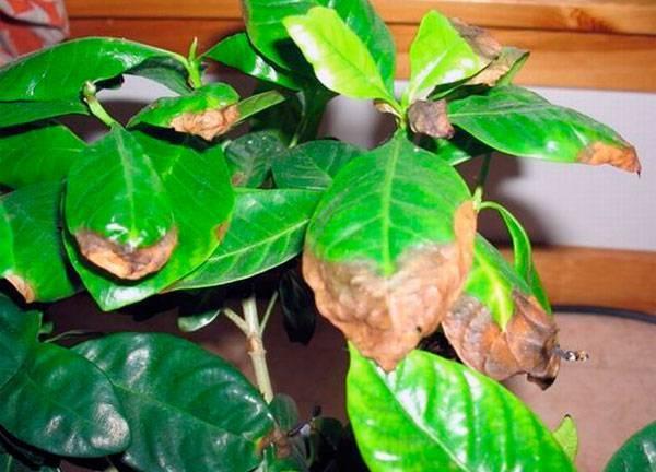 Вредители лимона и борьба с ними в домашних условиях, лечение и профилактика заболеваний комнатного лимонного дерева