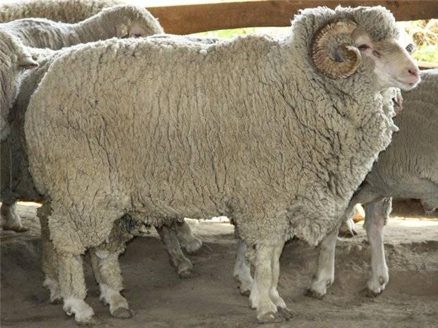 Овцы породы меринос: виды, характеристики, разведение
