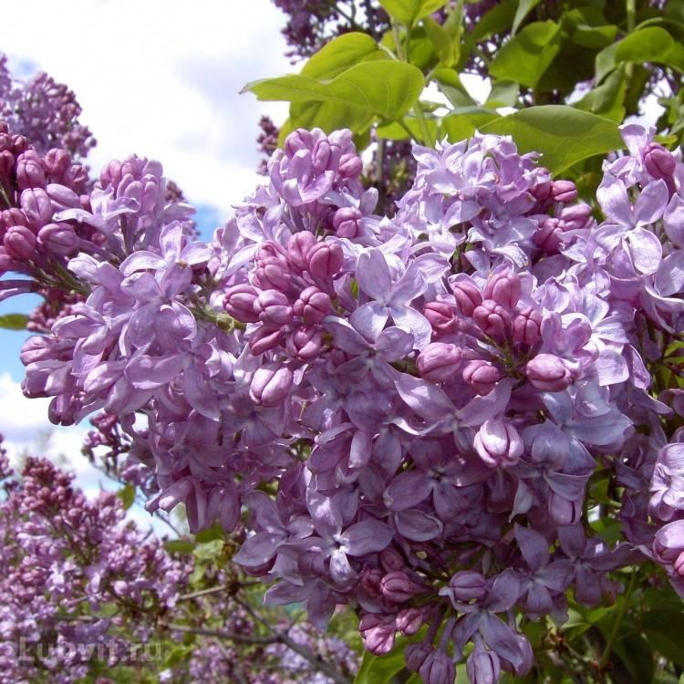 Великолепная сирень Олимпиада Колесникова в саду: посадка и уход