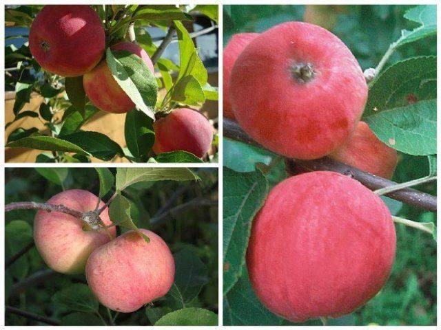 Как привить яблоню к дичке весной, летом и осенью: пошаговая инструкция по прививке